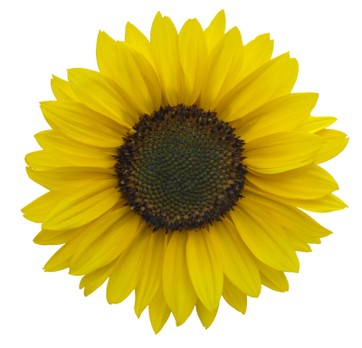 Sunflowers PNG Icon PNG Images