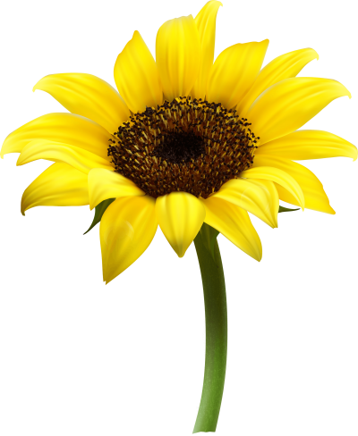 Sunflowers Amazing Image Download PNG Images