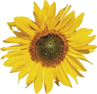 Sunflowers Free Transparent Png PNG Images