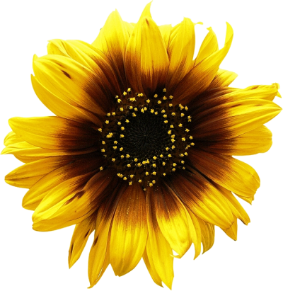 Sunflower Free Download PNG Images