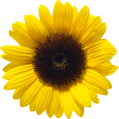 Sunflowers Icon Clipart PNG Images