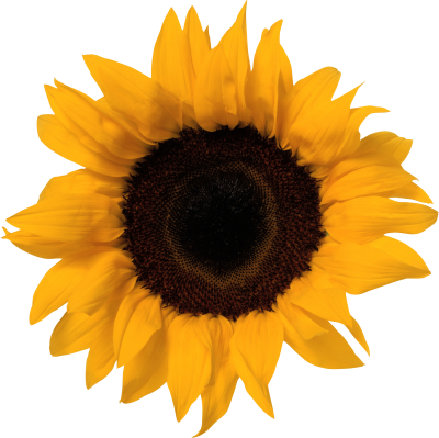 Sunflower Images PNG PNG Images