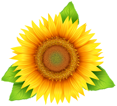 Sunflowers Vector PNG Images