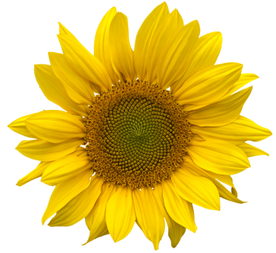 Sunflower Clipart PNG File PNG Images