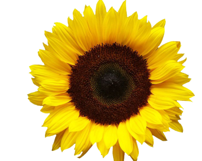 Sunflowers Simple PNG Images