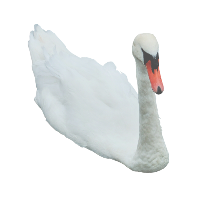 Light Swan Png Transparent Images