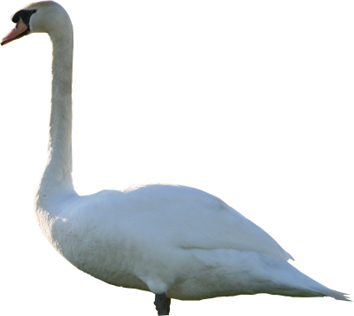 Simple Swan Png PNG Images