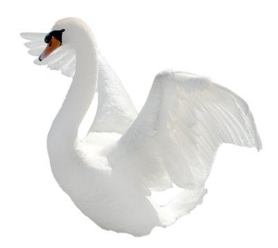 Swan, Bird, Plumage, Nature Images PNG Images