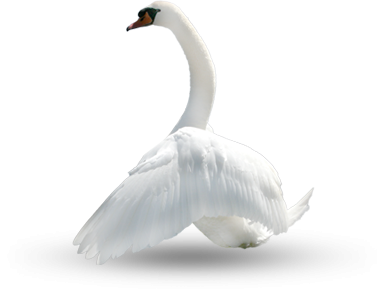 Swan, Bird, Plumage, Nature Photo PNG Images