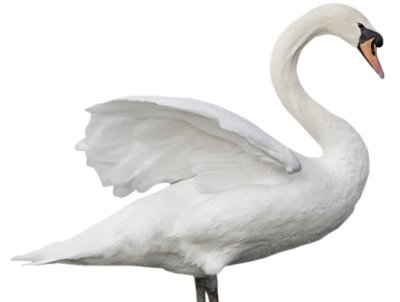 Swan, Bird, Plumage, Nature Pictures PNG Images