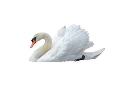 Swan Png Photo PNG Images