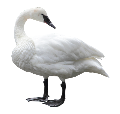 Swan Png Transparent Image PNG Images