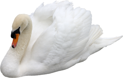 White Swan Png Images PNG Images