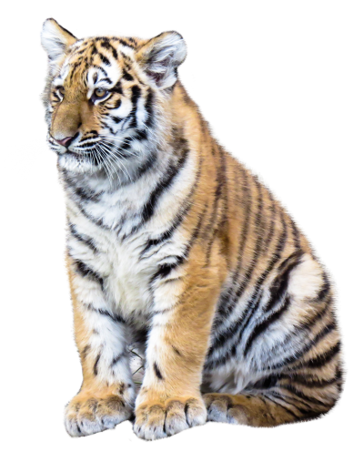 Beautiful Baby Tiger Hd Background PNG Images