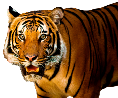 Closely Tiger Face Transparent Background PNG Images