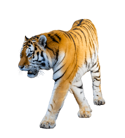 Walking Angry Tiger Hd Transparent Background PNG Images
