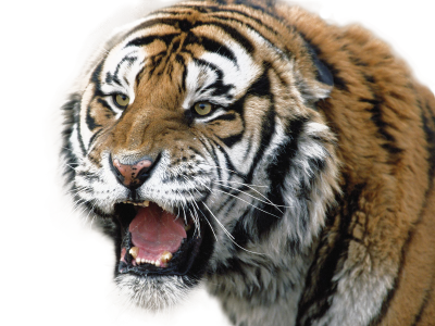 Roaring Tiger Face Transparent Picture PNG Images