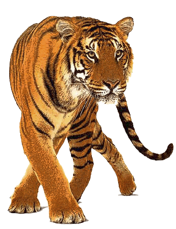 Tiger Transparent Approaching its Prey PNG Images