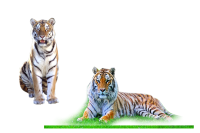 Tiger Stickers Png PNG Images