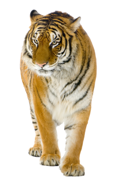 Cool Tiger Png PNG Images