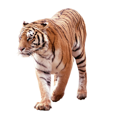 Angry Face Tiger Clipart Transparent PNG Images
