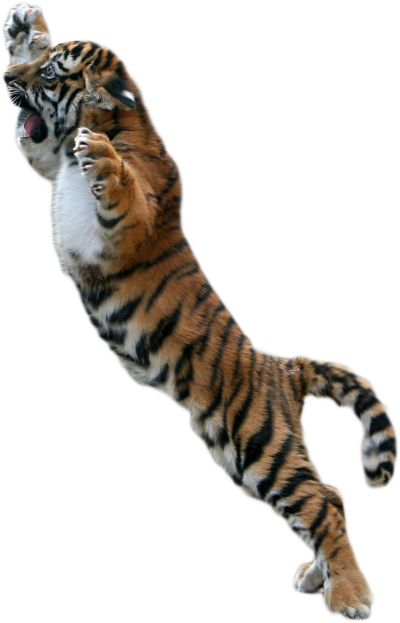 Tiger Attacking Clipart Png PNG Images