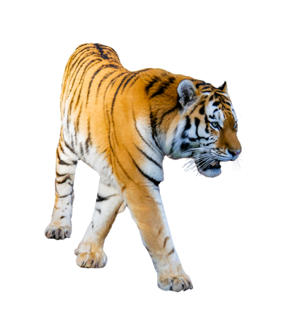 Angry Tiger Png Photos Free Download PNG Images