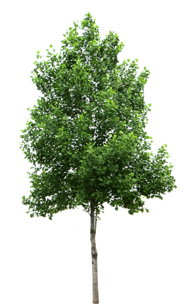 Texture Birch Tree Png PNG Images