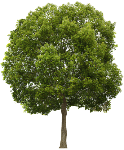Texture Hackberry Tree Png
