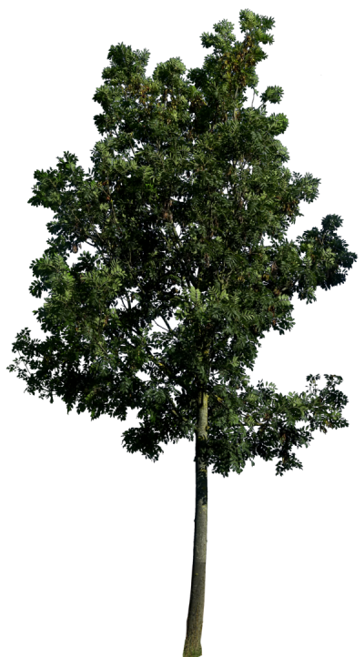 Tree 3 Png Image