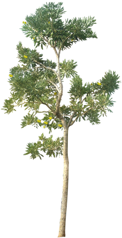 Tree Cutouts PNG Images