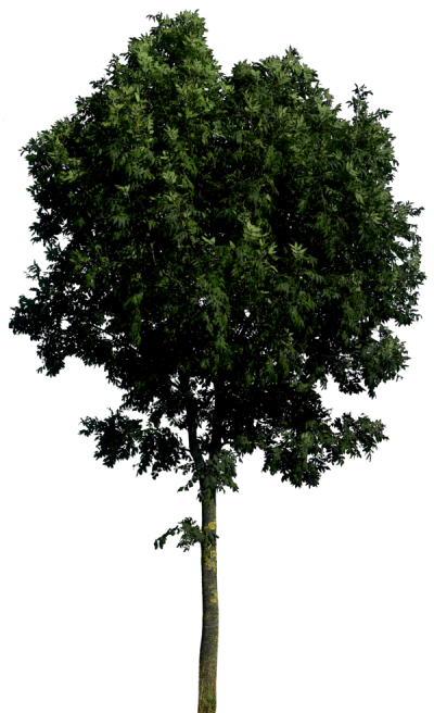 Tree Hd Png PNG Images