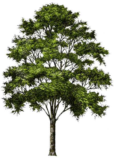 Tree Picture No Background PNG Images