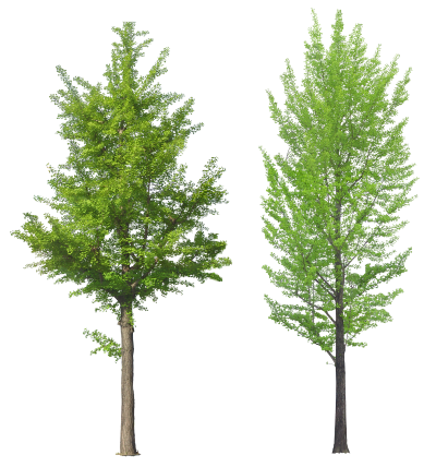 Two Tree Png Transparent Png Image