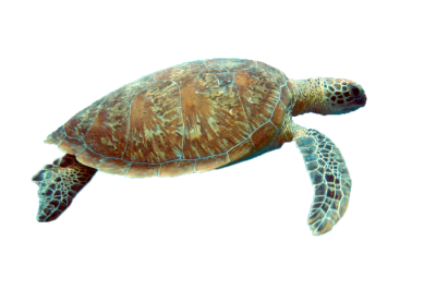 Sea Turtle Free Transparent PNG Images