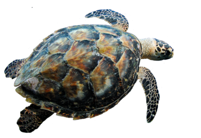 Turtle Transparent Picture PNG Images