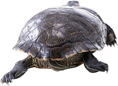 Turtle PNG Images