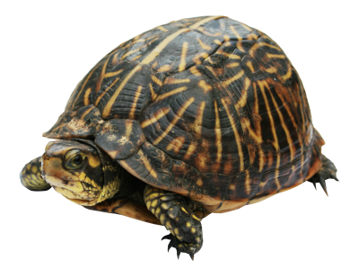 Turtle Clipart Photos PNG Images