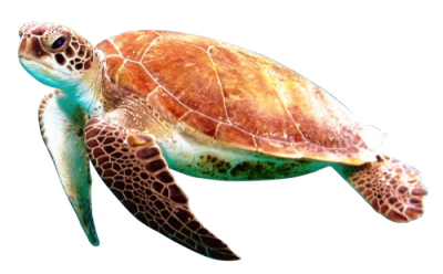 Sea Turtle Transparent Image PNG Images