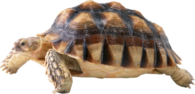 Turtle Picture PNG Images