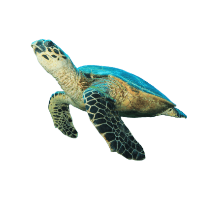 Turtles Clipart Photos PNG Images