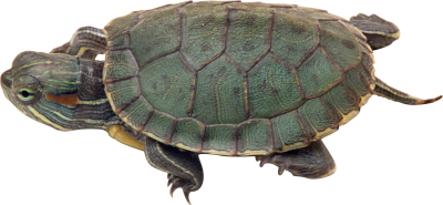 Turtle Free Pic PNG Images