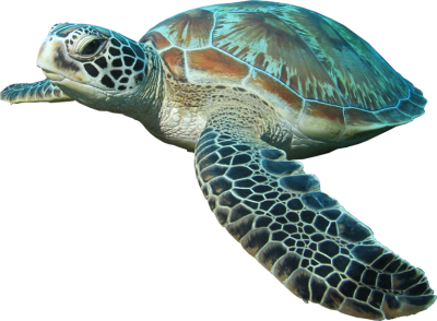 Hd Sea Turtle Image PNG Images