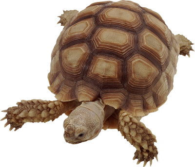 Box Turtle Cut Out PNG Images