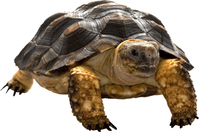 Turtle Best Animal PNG Images
