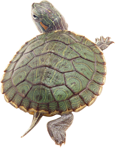 Turtle Clipart Hd PNG Images