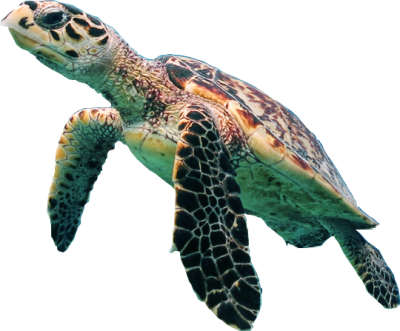 Sea Turtle Wonderful Picture Images PNG Images