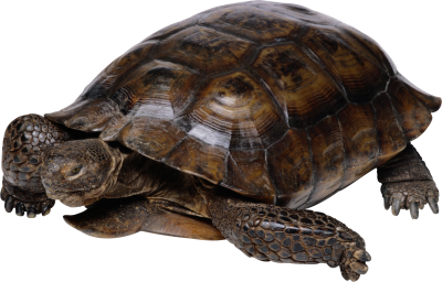 Turtle Cut Out Pic PNG Images