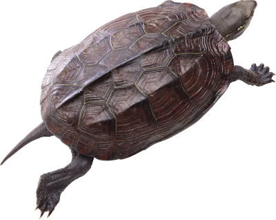 Turtle Free Download PNG Images