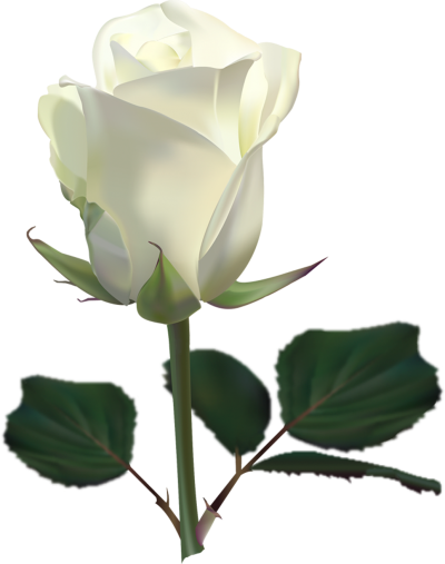 Real White Rose Amazing Image Download PNG Images